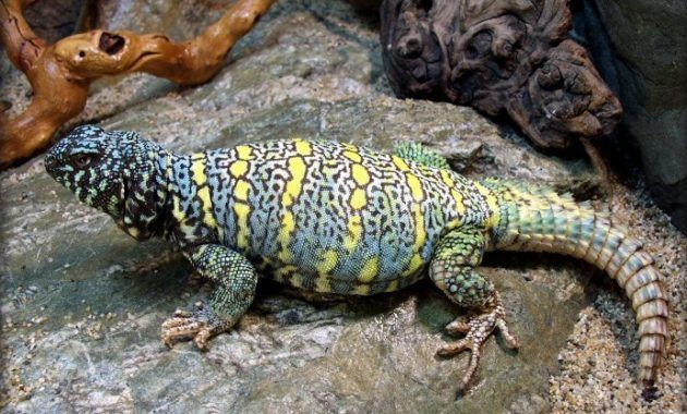 11 Fascinating Animals That Start With The Letter U Uromastyx Uromastyx Lizard Lizard