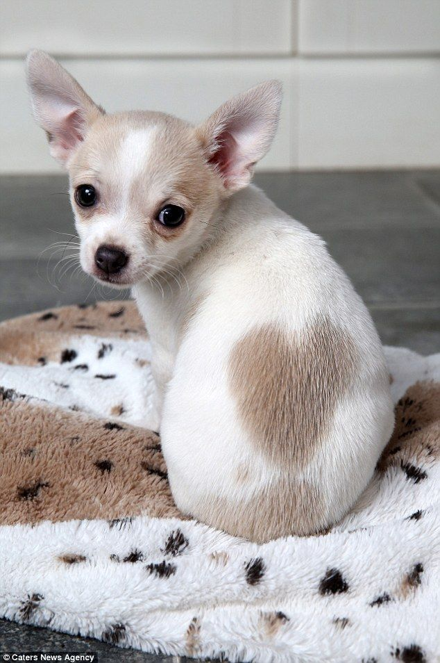 Teddy the 11-week-old Chihuahua was born with a birthmark in the shape of a love-heart on his back                                                                                                                                                      More
