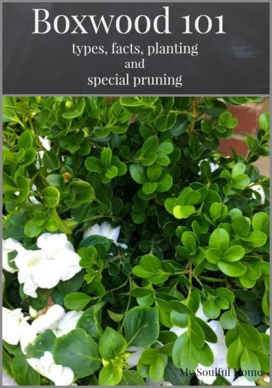 Boxwood shrubs a guide -types, facts & the special way you need to prune them.