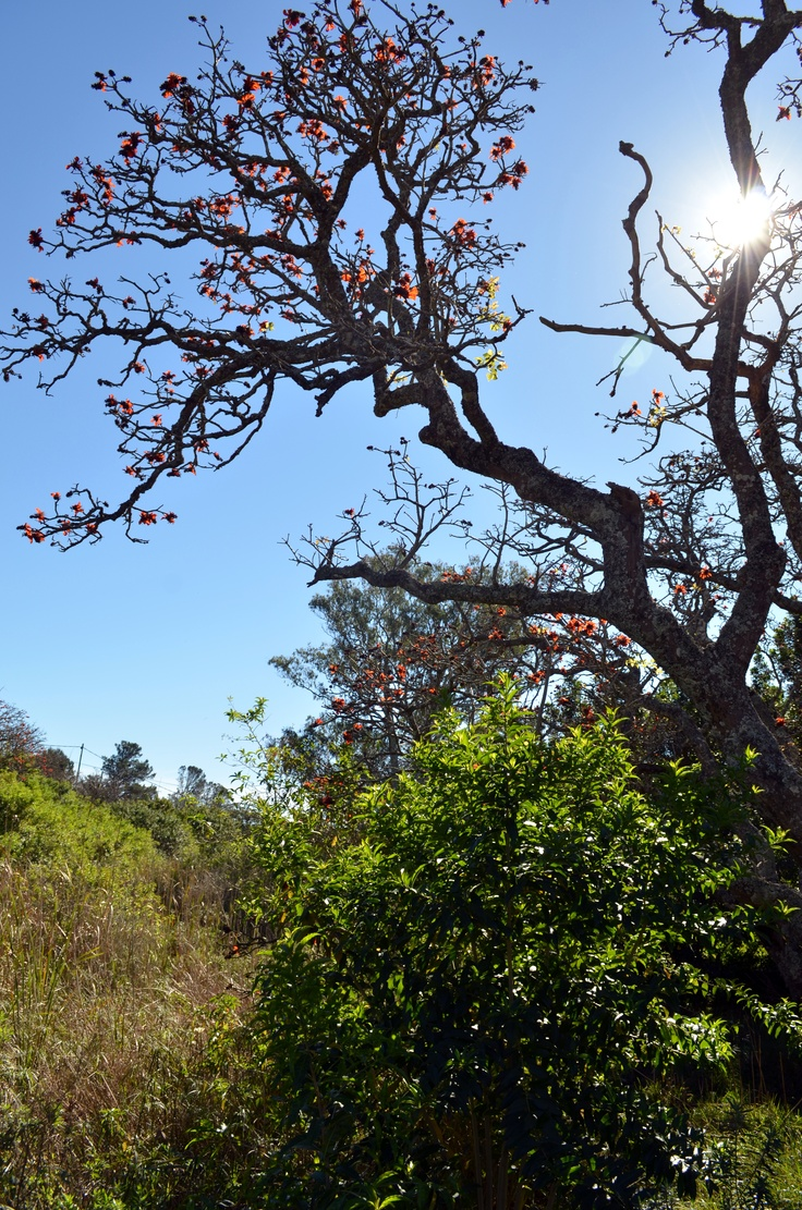 coral trees, Alexandria, Eastern Cape, South Africa