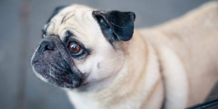 Top Vets Highlighint Pug Health Problems