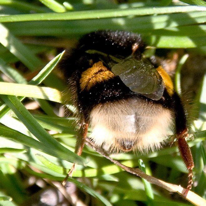 это фото жирной пчелки прием