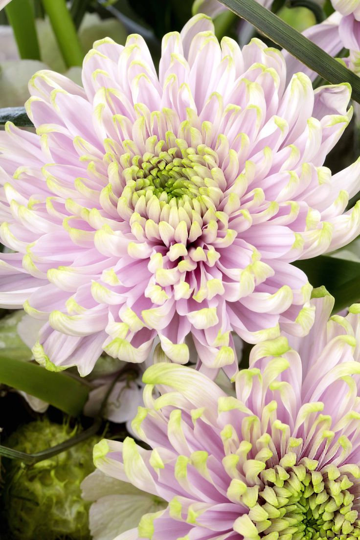 A new plant to look out for at the Chelsea Flower Show 2016 - Chrysanthemum 'Princess Charlotte. The National Chrysanthemum Society will present this stunning cultivar, produced by Dutch breeder Deliflor. Find out how to grow chrysanthemums: http://www.gardenersworld.com/how-to/projects/video-projects/how-to-grow-chrysanthemums/5781.html