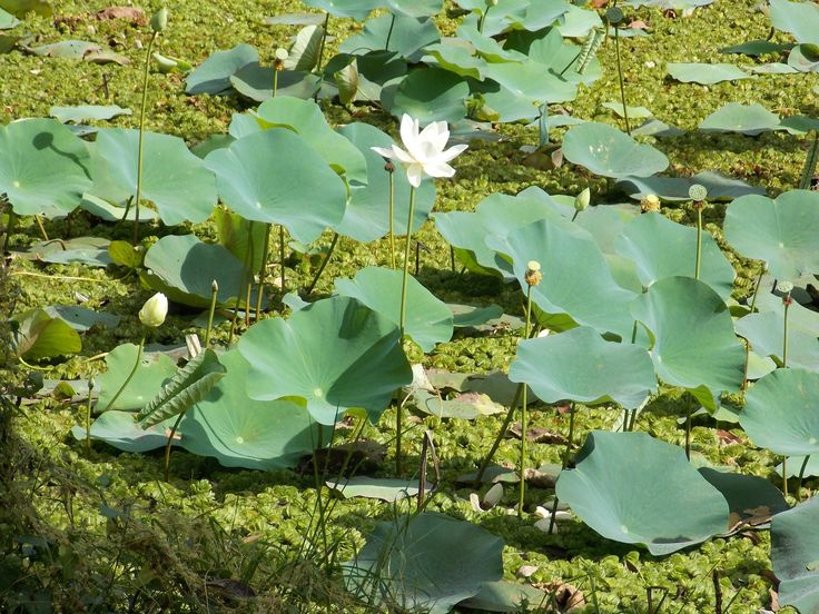 nelumbo white sri lanka