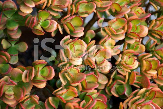 Jade Plant, Crassula Ovata royalty-free stock photo