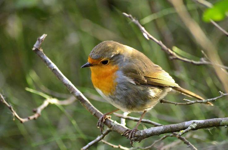 #petirrojo #robin #pitroig #pajaros #birds #birdsphotography #birding #birdswaching #instalike #instabirds #instanature #natureshots #naturelovers #freelife #freelifestyle #goodvibes #buenasvibraciones #gypsysoul