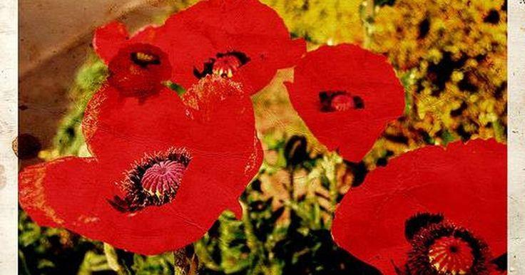 Como plantar sementes de papoula. As papoulas são plantas ornamentais normalmente cultivadas pelas suas flores vibrantes. Elas são extremamente tolerantes às temperaturas frias e se adaptam a maioria das condições de cultivo. Consideradas perenes devido à sua capacidade de autopolinização, elas muitas vezes florescem no verão e no outono, e suas flores duram entre três e oito ...