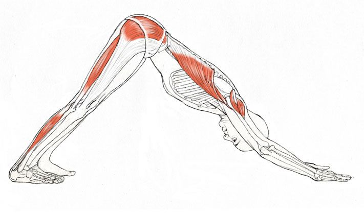 Adho Mukha Svanasana:  Downward Facing Dog pose is meant to nourish the spine (and the energy channels traveling along with it) with a qualitative forward bend. In terms of being qualitative, this means the spine should enjoy renewed space, balance, and mobility. This includes all portions from the sacrum to the cervical spine (neck).