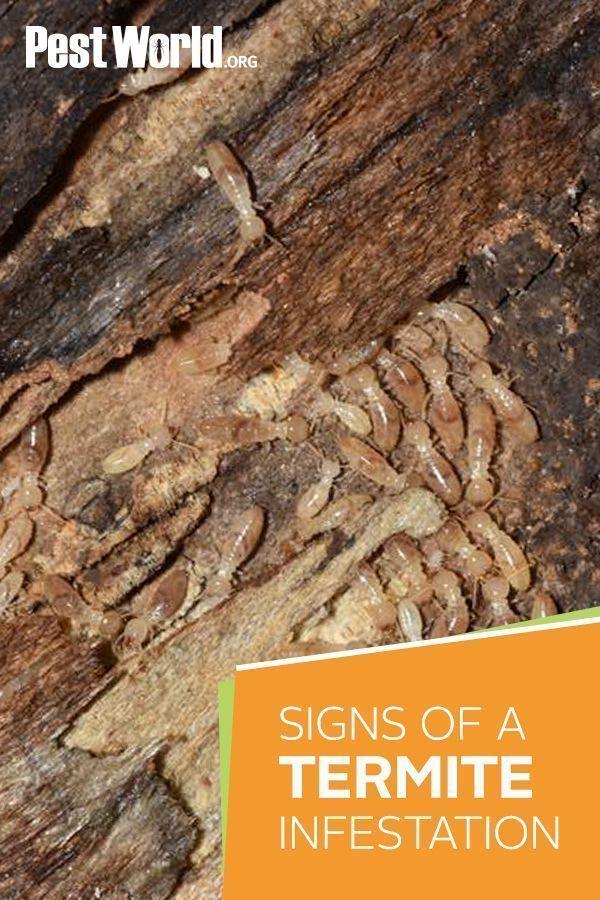 Pin On Termites