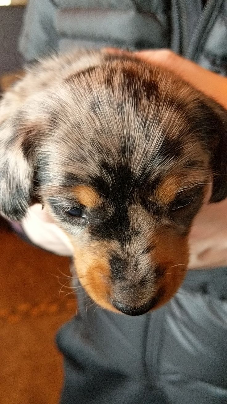 Long Haired Dapple Dachshund Puppies For Sale In Oklahoma 2021