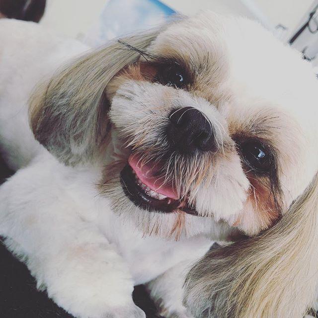 小鉄ちゃんsmile😍cut中もとっても楽しそうだね🐶💕#dld#trimmingspacek #trimming#シャンプー#shampoo#カット#cut#poodle#プードル#シーズー#まつげ長い #可愛い#歯磨き#ふわもこ部 #dog#dogstagram #愛犬#smile#笑顔