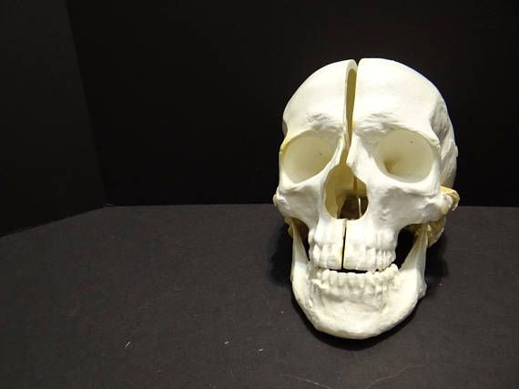 Check out this item in my Etsy shop https://www.etsy.com/listing/530715360/anatomical-skull-model-anatomical