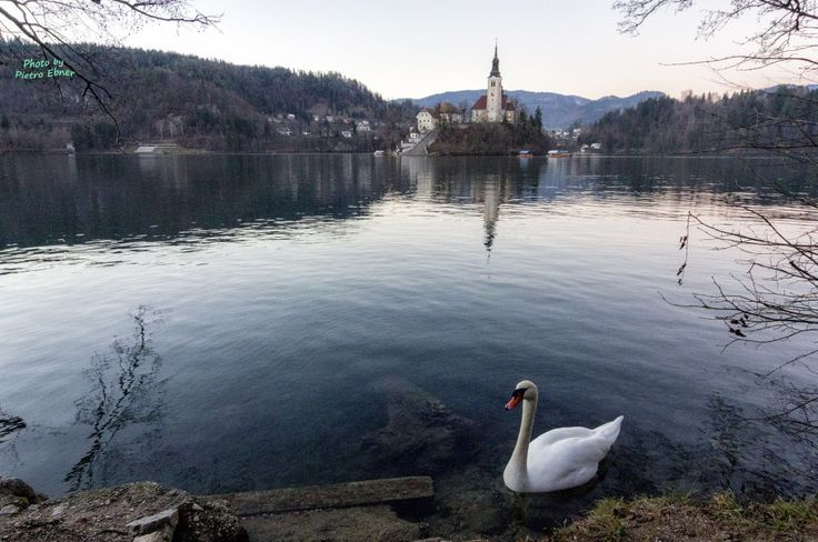 Swan on the lake of Bled