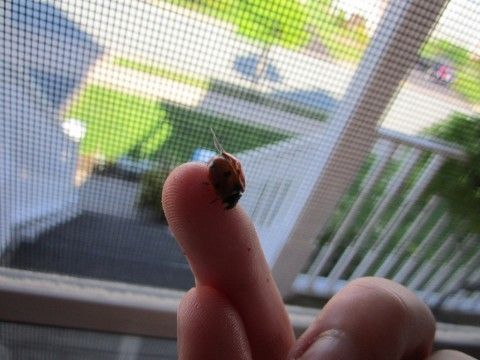 Got a ladybug problem? If they're in the house you do! photo by laurencotie on Flickr