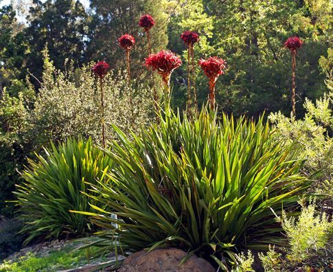 Spear Lily (Doryanthes excelsa) Spectacular compact heads atop tall, thick stems. Description from pinterest.com. I searched for this on bing.com/images
