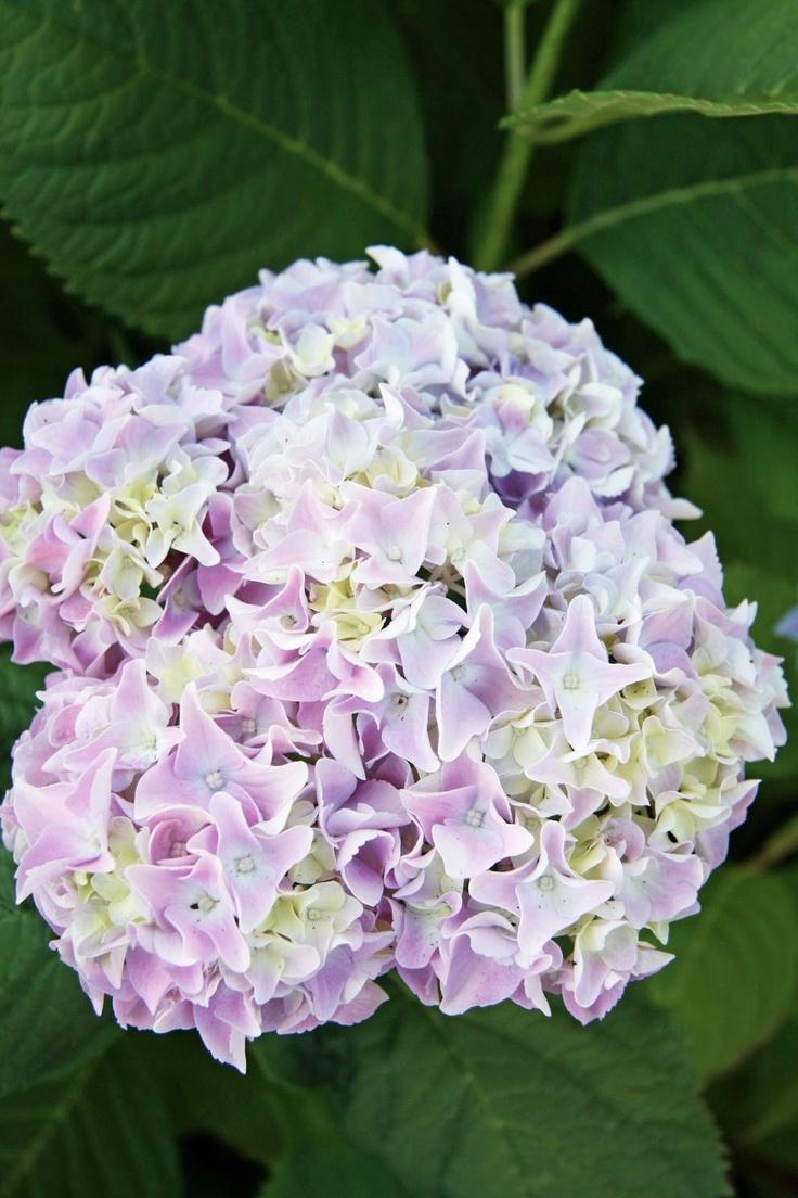 350 best growing hydrangeas images on pinterest flowers garden beautiful flowers and gardening - Caring hydrangea garden ...
