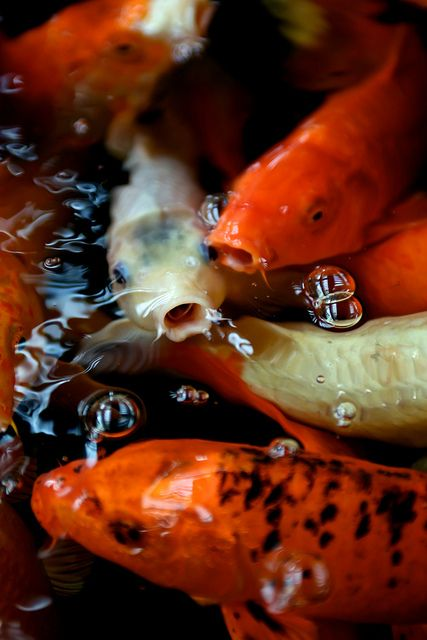 89 best images about koi fish on pinterest koi art koi for Japan koi wild