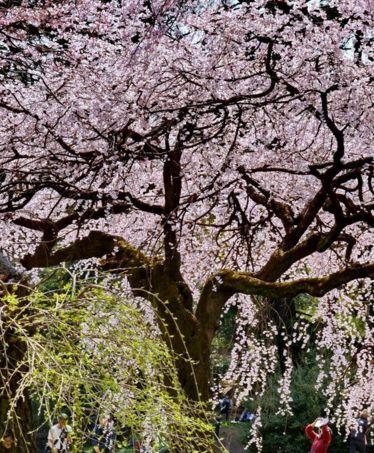 Multi-Wear Wrap - Cherry Blossom Time 219 by VIDA VIDA DwWIG6ZLQT