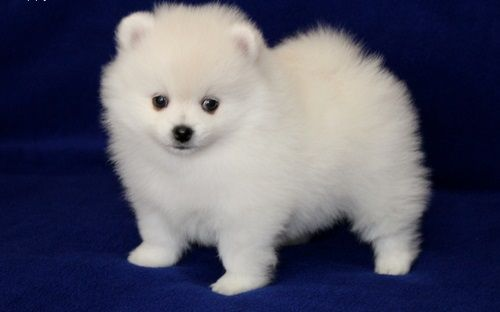pomeranian samoyed mix 25 best ideas about pomeranian breeders on pinterest 8703