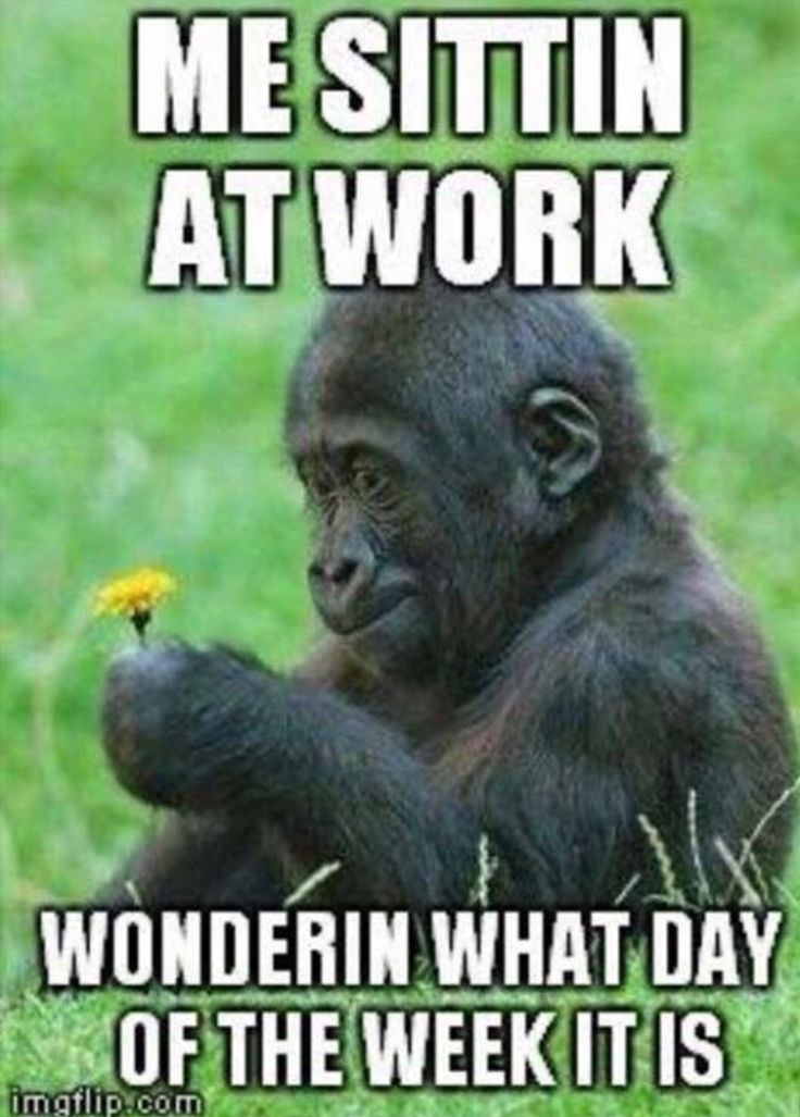 Me Sitting At Work Wondering What Day Of The Week It Is Work Humor Workhumor Workmeme Gorilla Work Humor Funny Animals Funny Pictures