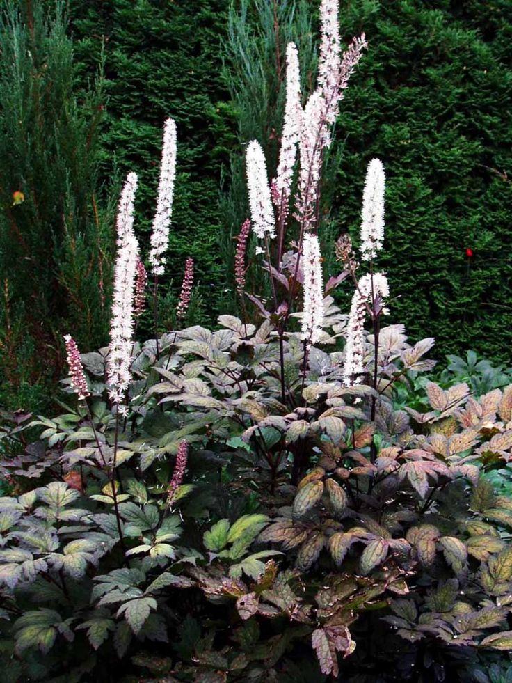 Höstsilverax, Actaea simplex 'Brunette'. Utsökt mörkt purpurbrunt bladverk som bildar en stor rugge. Täta mörkt rosa blomax som slår ut i gräddvita blommande ax. Blommar september-oktober. Fin i samplantering med tulpaner, funkior och rutor.