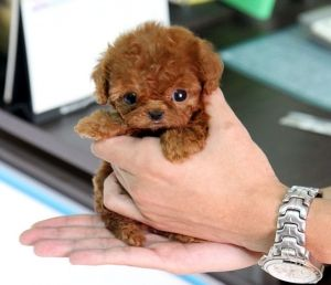 Micro Teacup Red Poodle <3 <3 <3 - I want one!!!!!!!!!!!!!!!!!!!!!!!!!!!!!!!!!!!