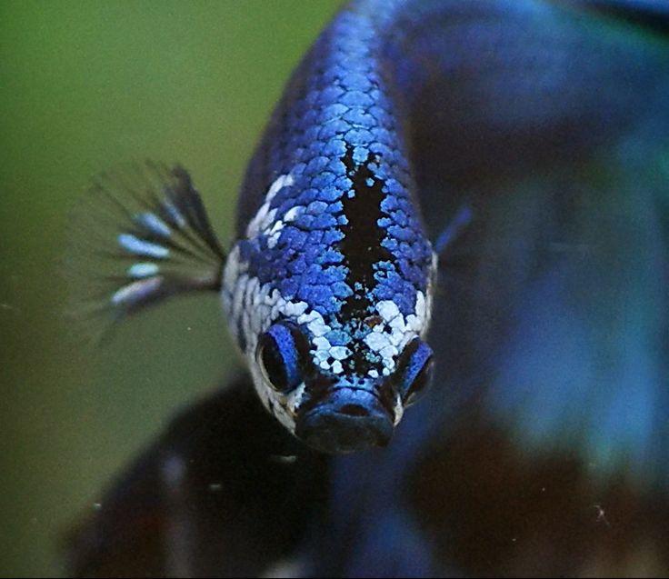 Looks like a partial piebald underwater faszination for Kampffische arten