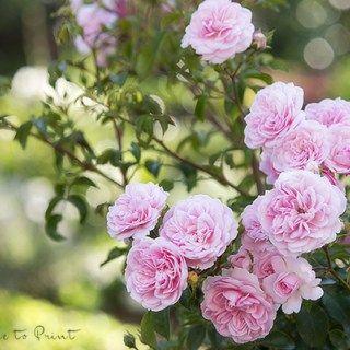 Der Sommerschnitt und die laufende Pflege der Rosen