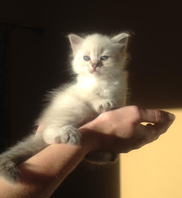 1000+ ideas about Siberian Kittens For Sale on Pinterest ...