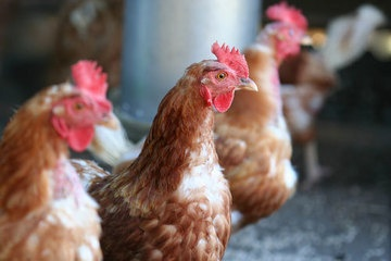 New Bird Flu Virus: 6 Things You Should Know | LiveScience