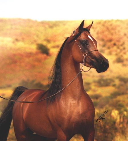 Thee Cyclone, the Arabian stallion who played the mature Shetan in the IMAX film The Young Black Stallion.