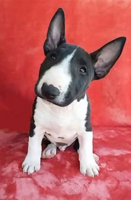 Mini Bull Terrier puppy