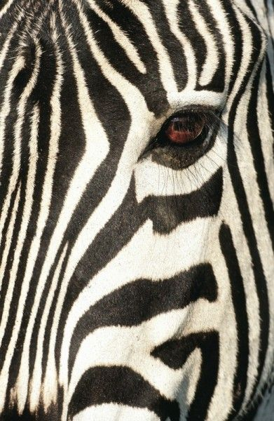 Zebra face by Heinrich van den Berg on www.digitalgallery.co.za