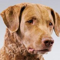 #dogalize Razas de Perros: Chesapeake Bay Retriever características #dogs #cats #pets