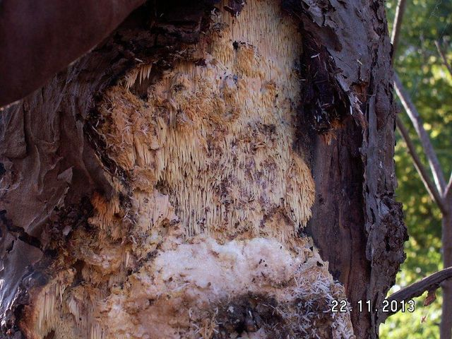 Sarcodontia crocea Orchard Tooth