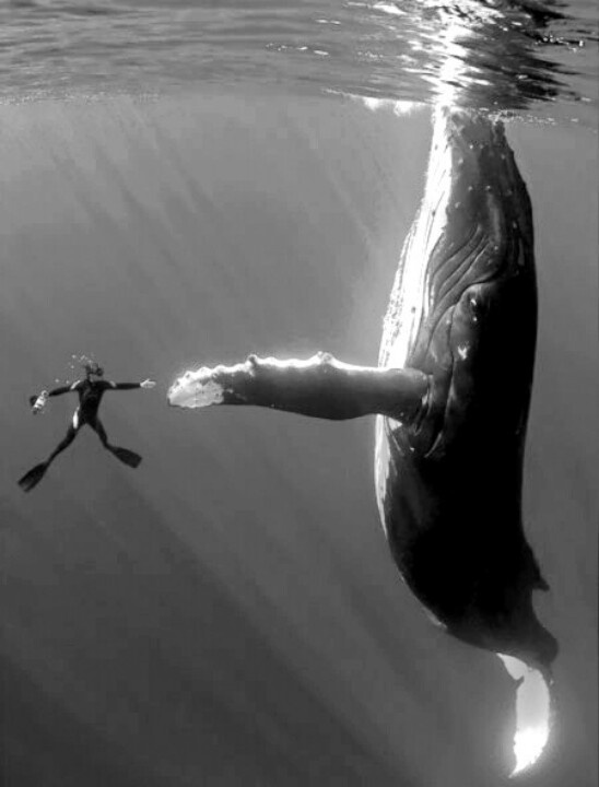 Diver and cameraman Marco Queral, looks miniscule compared to the 50ft female humpback whale, South Pacific ocean. 2009.