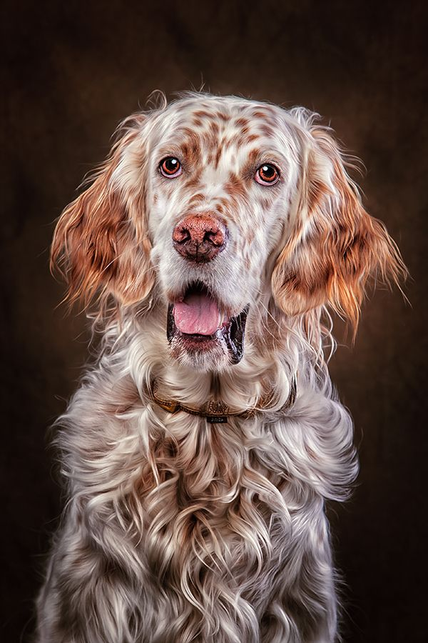 english setter clif by Danny Block, via 500px