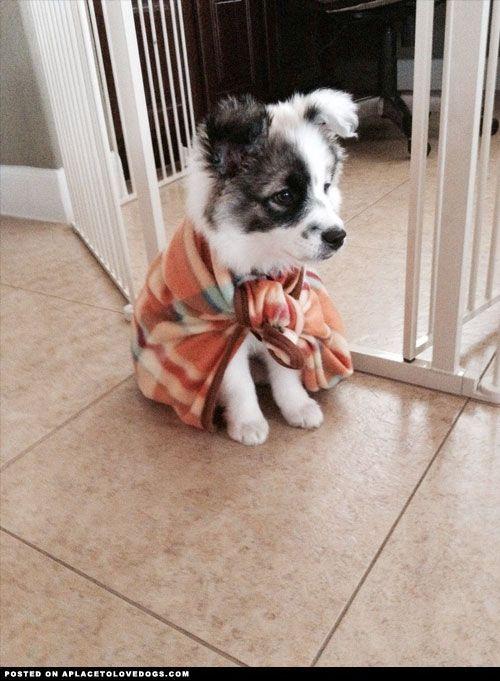 German Australian Shepherd Puppy. Dawww I want it xD
