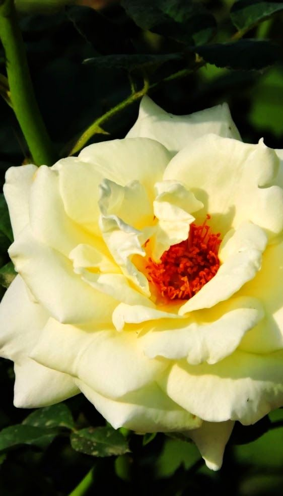 White Rose, Morning Picture | Backyards Click