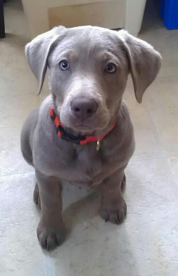 My silver lab puppy!!!