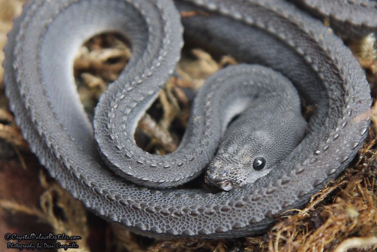 Xenodermus Javanicus - Dragon Snake. It is considered to be rare. The snake is fully nocturnal and subsists on a diet of frogs. Their natural range is Thailand, Burma, and Indonesia.