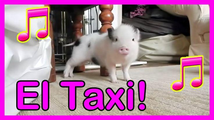 Cerdito Bailando El Taxi ! ORIGINAL Animales Chistosos - Videos Divertidos de perros y gatos - YouTube