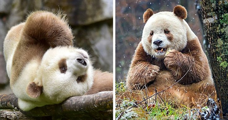 The World's Only Brown Panda Who Was Abandoned As A Baby, Finally Finds Happiness | Bored Panda