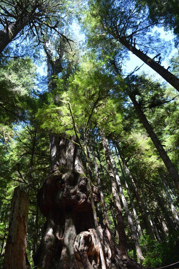 World's Gnarliest Tree Avatar Grove Port Renfrew, BC