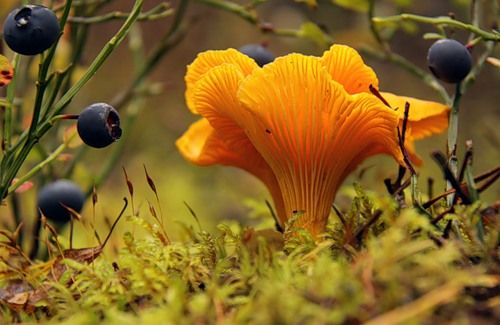 Blueberries and chanterelle.