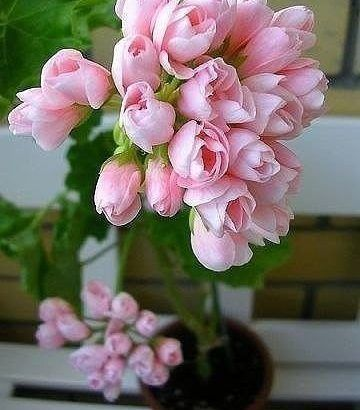 Тюльпановидная герань. Необыкновенная красота. — Мир Растений