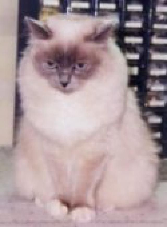 What are the Personality Types of the 12 Most Popular Cat Breeds?: Birman