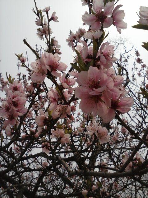 Cherry in full bloom Seoul2014