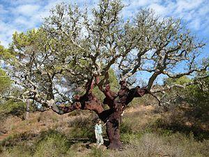 El Alcornoque (Quercus suber) í Un Árbol de hoja perenne Árbol de hoja del Mediterráneo occidental from caduca El género de los robles (qu ..