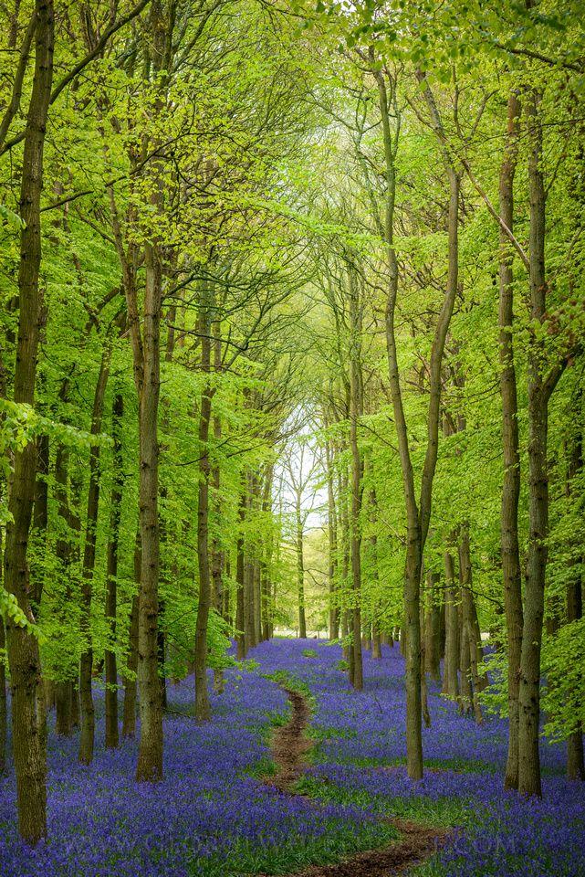 Bluebell Cathedral, Ashridge, England, Europe